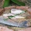 Đặc sản cá nướng úp chậu – Nam Định