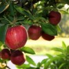 Những lợi ích bất ngờ từ trái táo (Phần cuối)