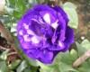 Một số loài hoa làm đẹp cho ngôi nhà của bạn