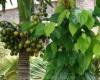 Những loại cây nên trồng trong vườn nhà